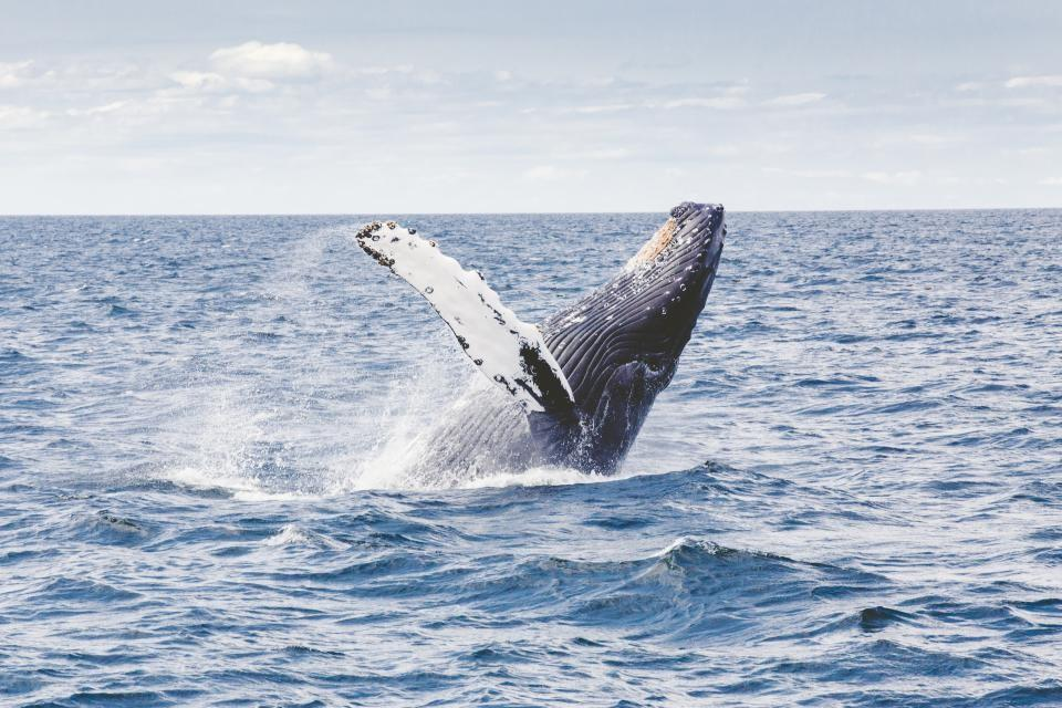 Whale jumping out of sea