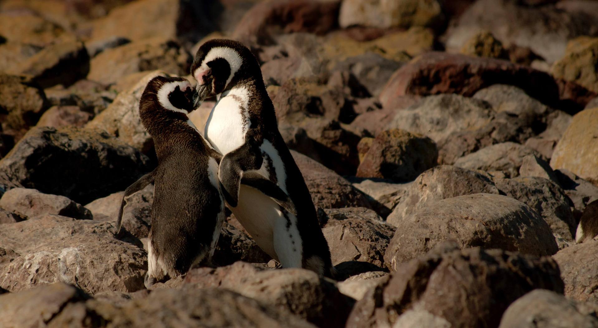 Kissing penguins
